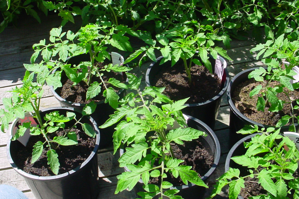beneficial soil life tomatoes