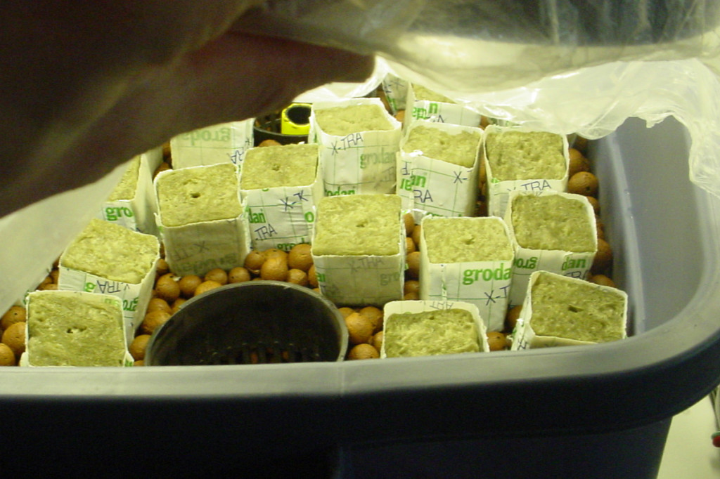hydroponic cuttings rockwool cubes