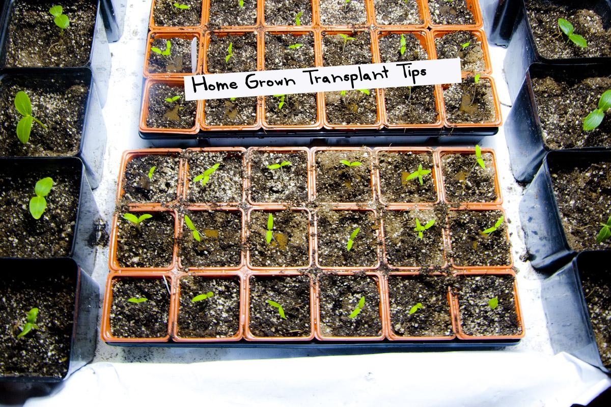 Transplanting Grow Tips Hydroponics to Soil - GROZINEGROZINE