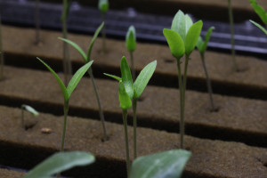 hydroponic seedlings to transplant