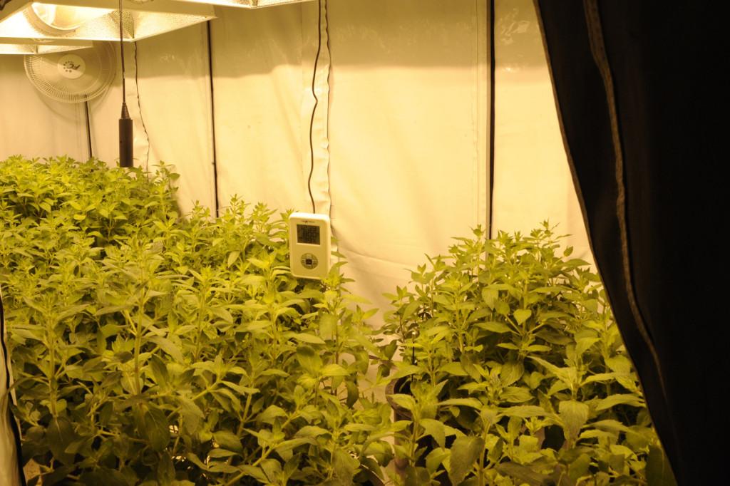 tent growing tips spearmint crop