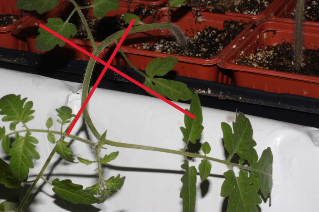 drooping soilless seedlings