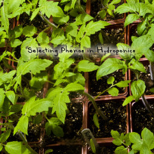 Phenotype Selection in Hydroponics Gardening