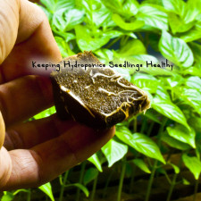 Keeping Hydroponics Seedlings Healthy