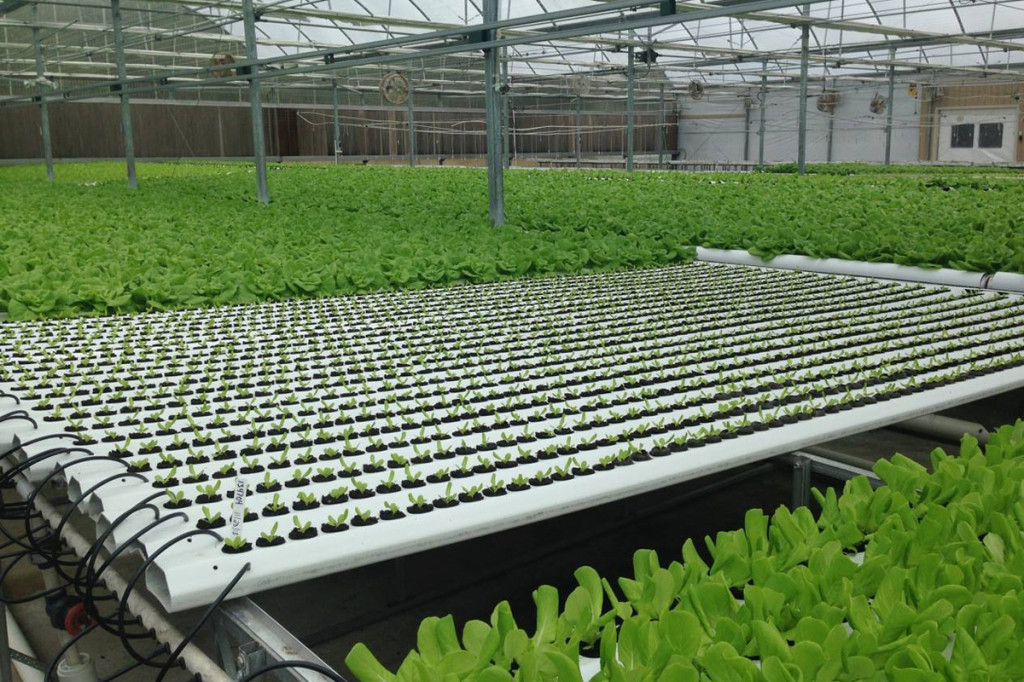 american hydroponics nft lettuce systems
