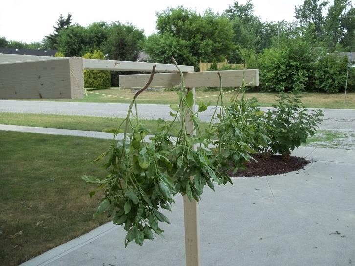 diy drying rack hydroponics herbs 8