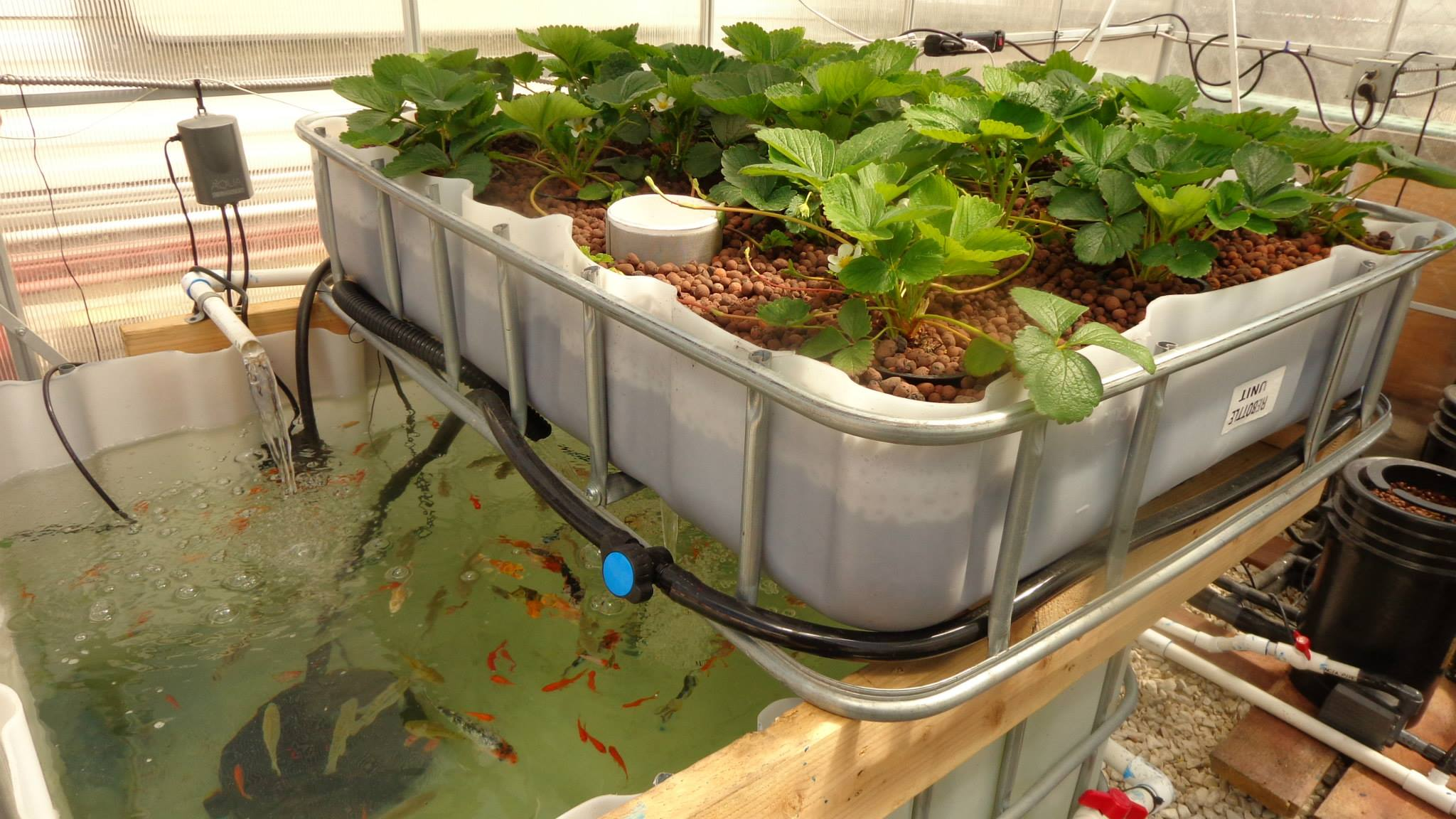 High crop production aquaponics grozinegrozine for Fish for aquaponics