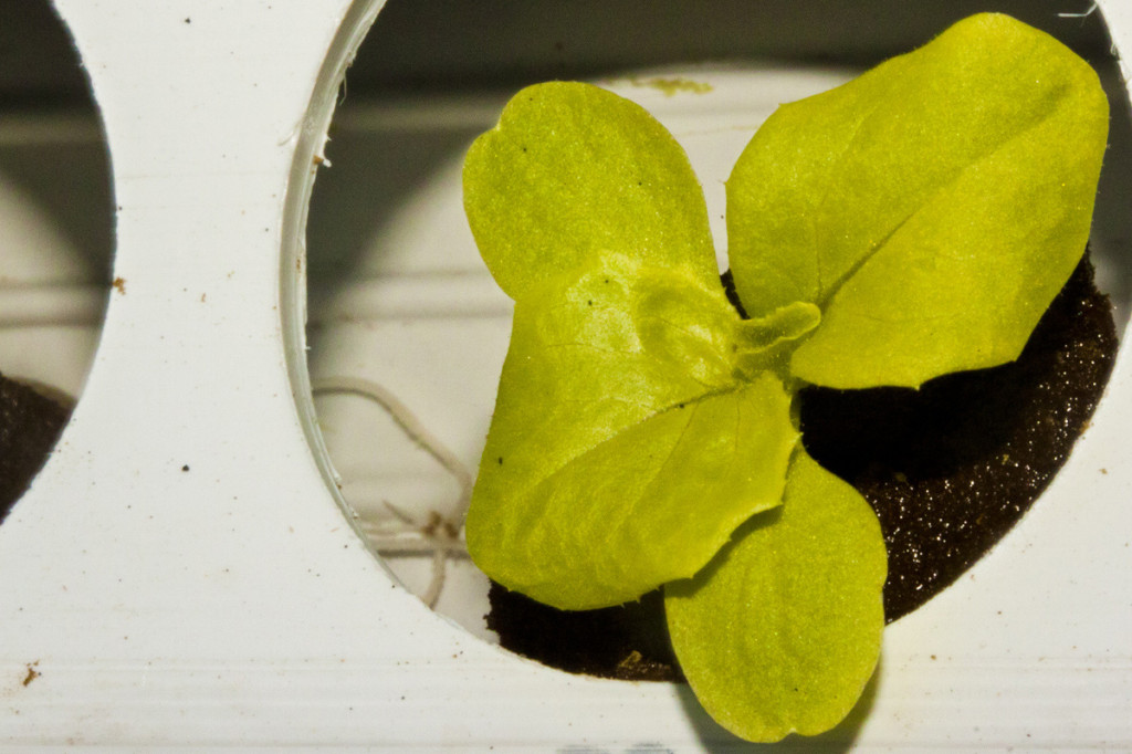 young nft lettuce roots