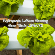 Hydroponic Lettuce Growing