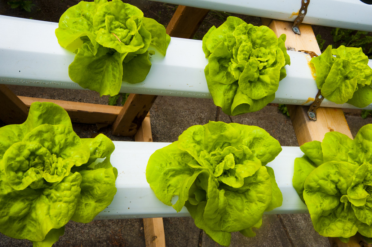 hydroponic lettuce growing grozinegrozine. Black Bedroom Furniture Sets. Home Design Ideas