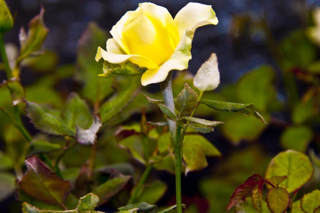 powdery mildew rose hydroponics
