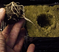 cropping systems jiffy to rockwool cube