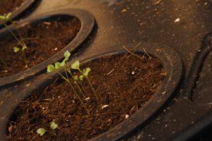 hydroponic kale seedling