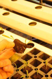 hydroponic spinach transplants
