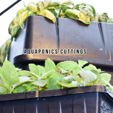 Aquaponics Cuttings