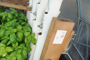 greenhouse aquaponics basil vertical