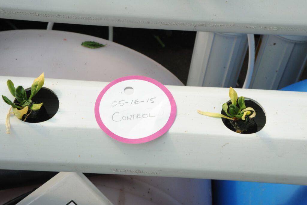 hydroponics crop wilt disease