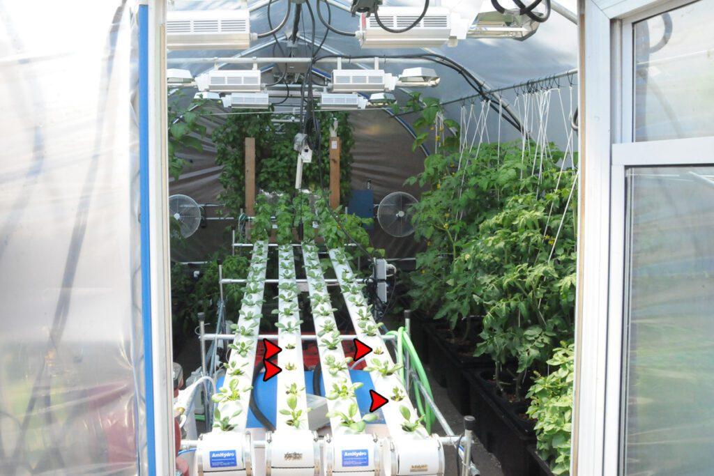 spinach crop disease hydroponics