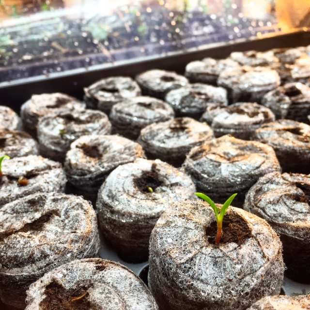 hydroponic seedlings