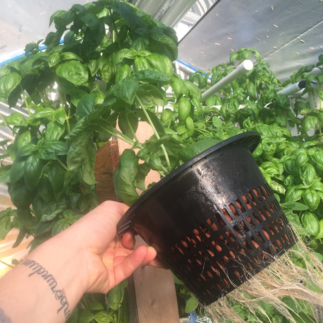 hydroponic genovese basil roots