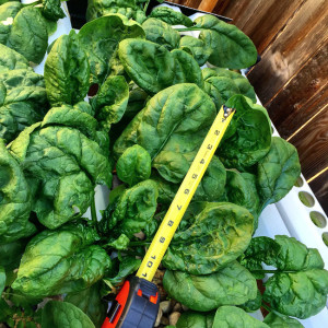 hydroponic spinach variety
