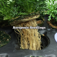Aeroponic Seedlings