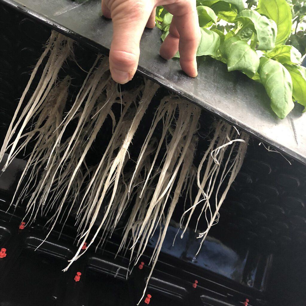 aeroponic basil roots