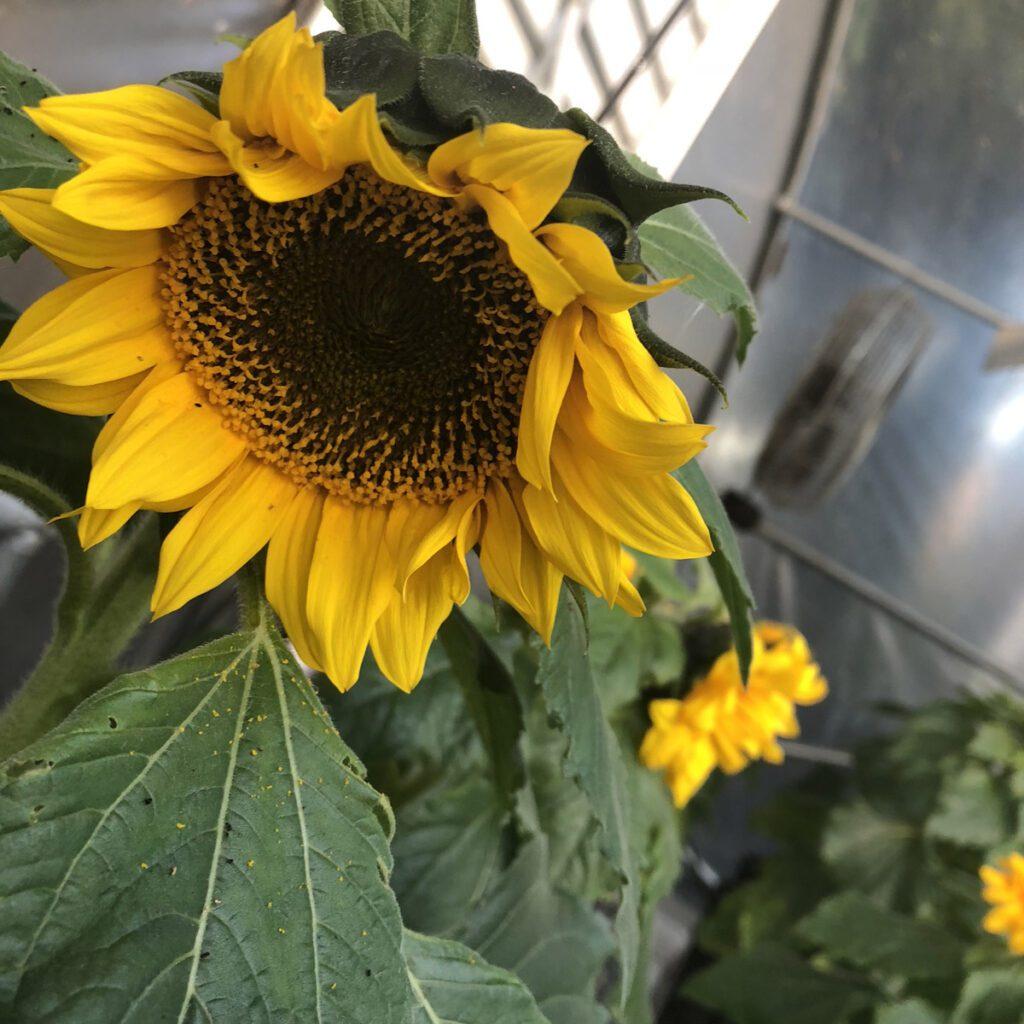 hydroponic-sunflower-mature