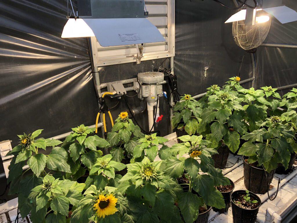 hydroponic sunflowers