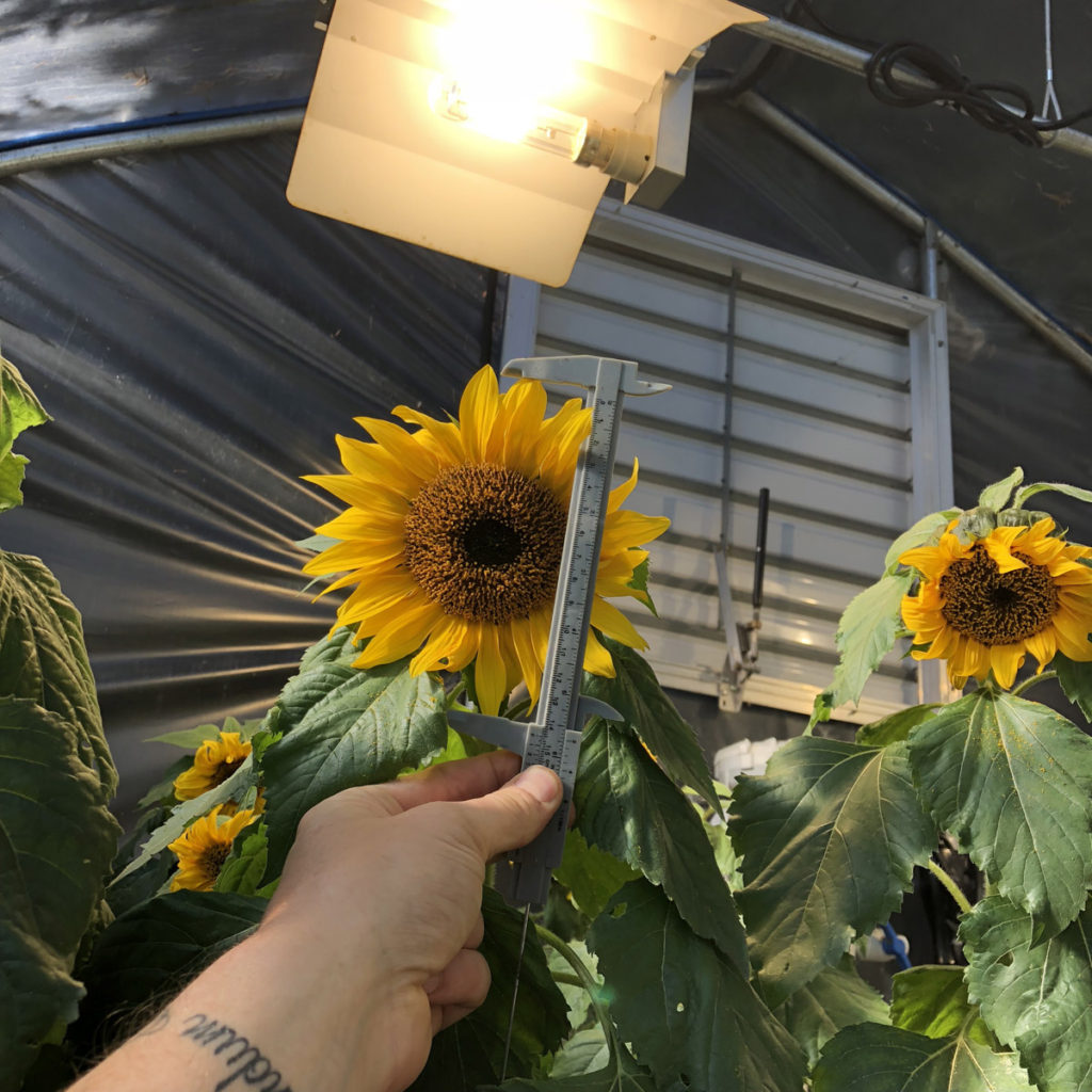 hydroponic-sunflowers-testing