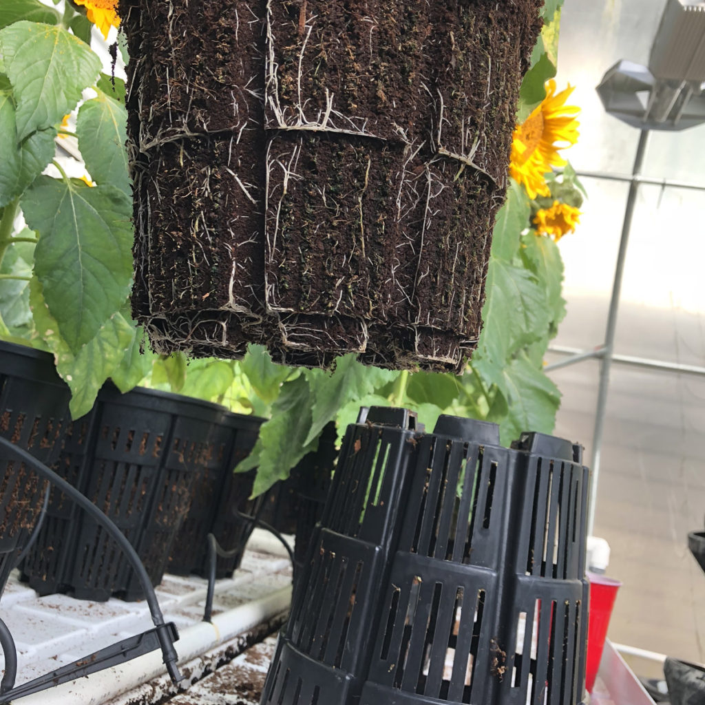 rediroot-aeration-pot-healthy-roots