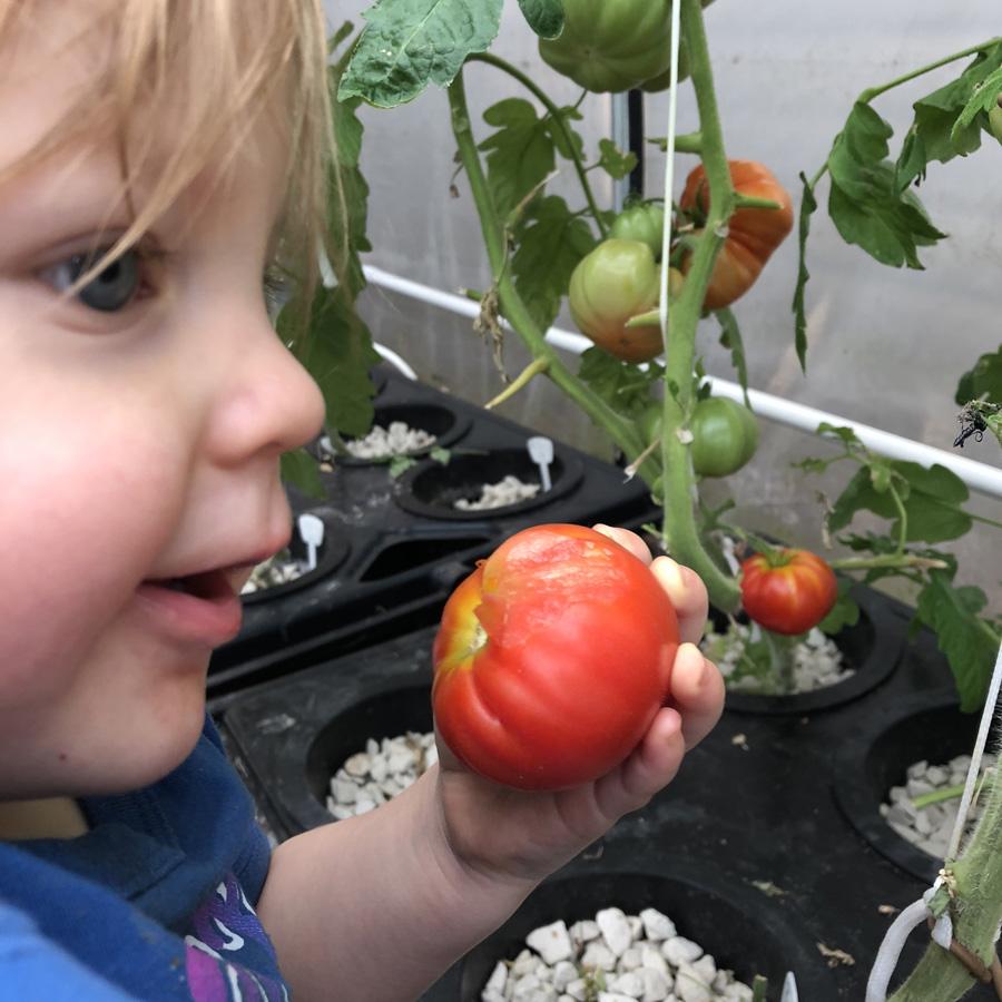 enjoying hydroponic tomatoes