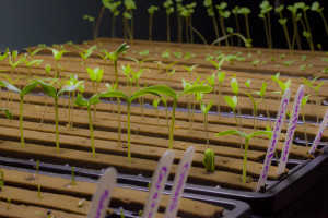 hydroponic seedlings ready for transplant