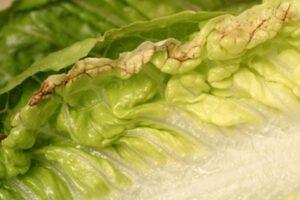 tip burn in lettuce crop