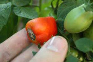 tomato end rot disease