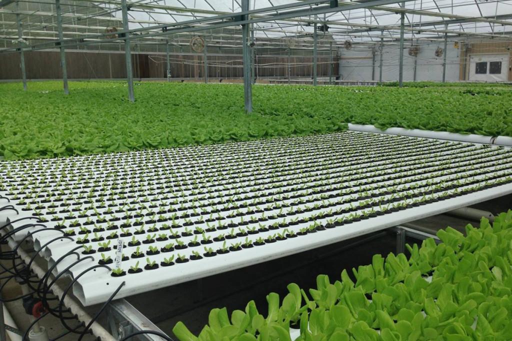 american hydroponics nft lettuce systems