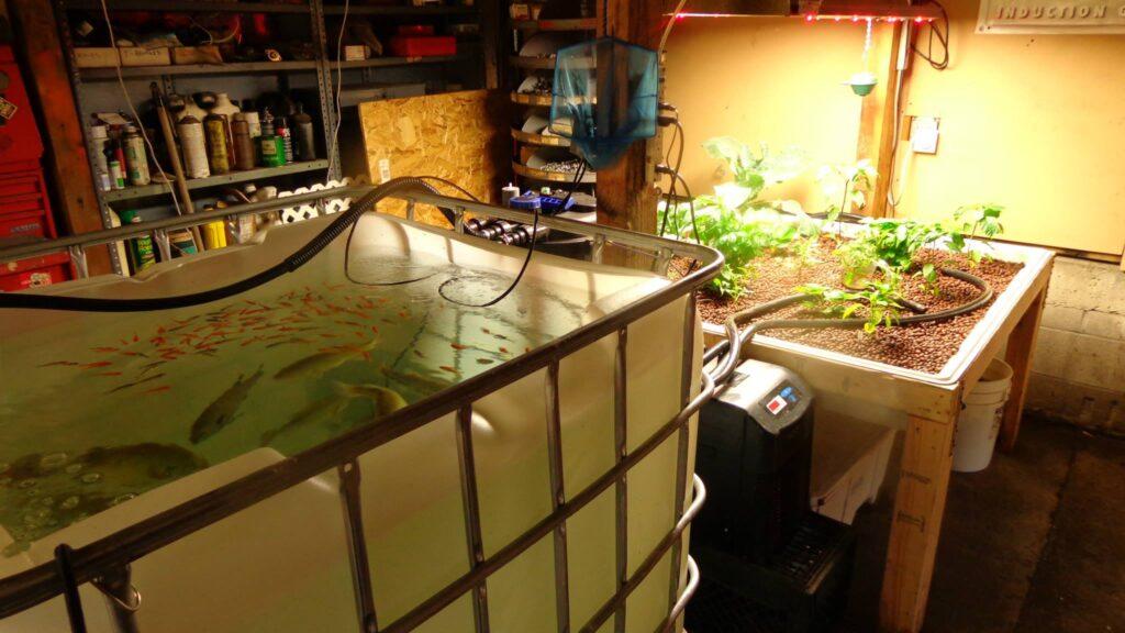 aquaponics carnivore tank