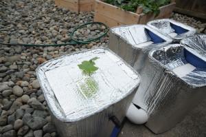 14-hydroponic squash plant