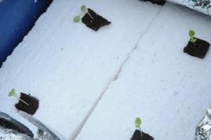 19-hydroponic lettuce plugs