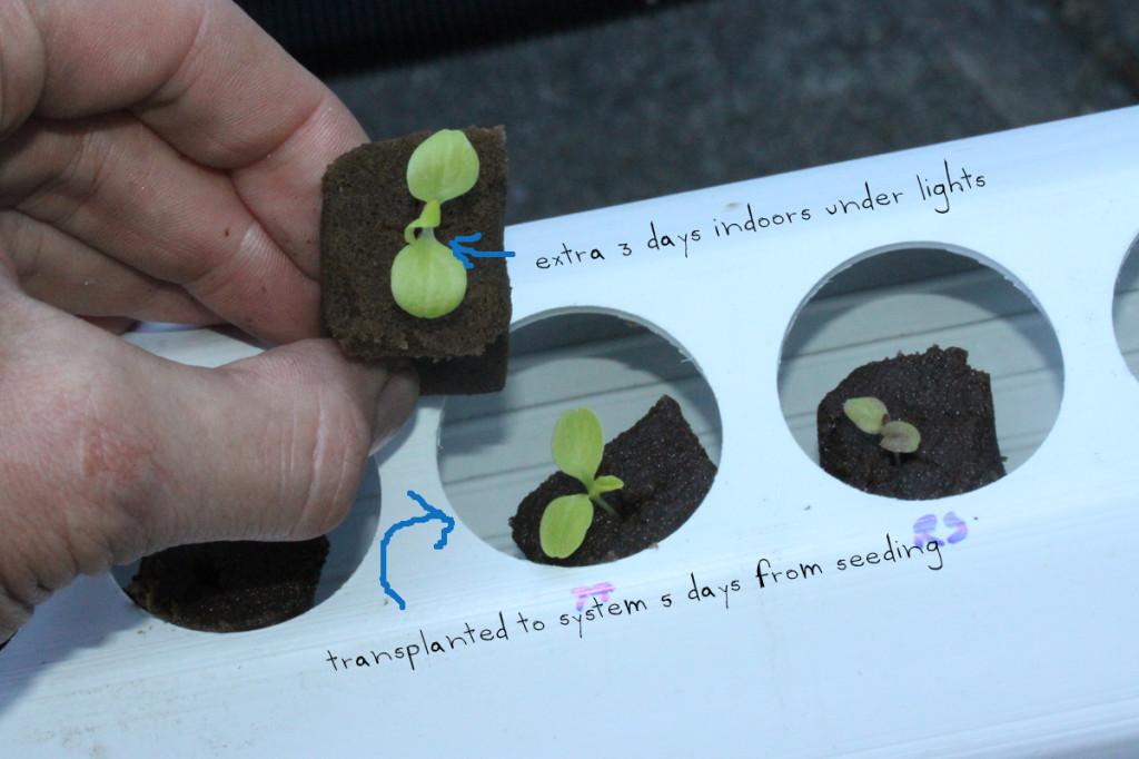 hydroponics transplants comparisson