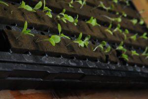 nft lettuce one week from seeding