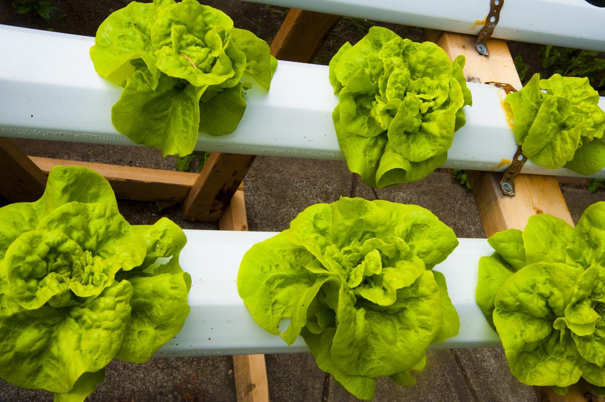 Hydroponic Lettuce Growing - GROZINEGROZINE