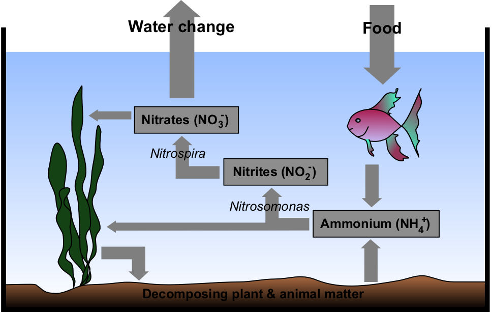 Aquarium_Nitrogen_Cycle-wiki