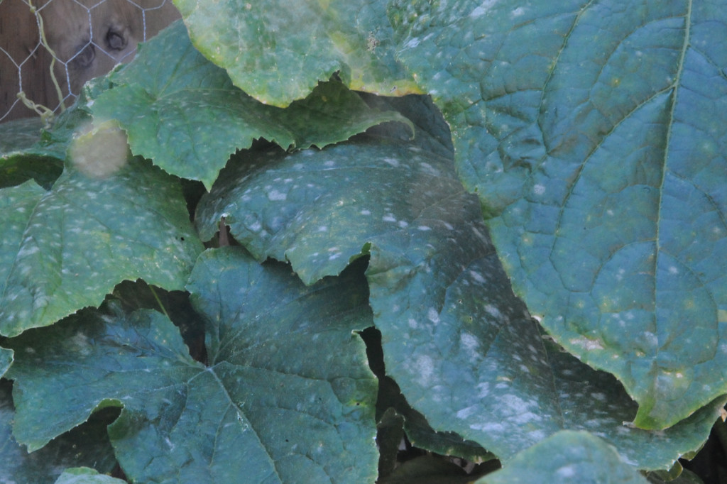 identify white mould on plant leaves