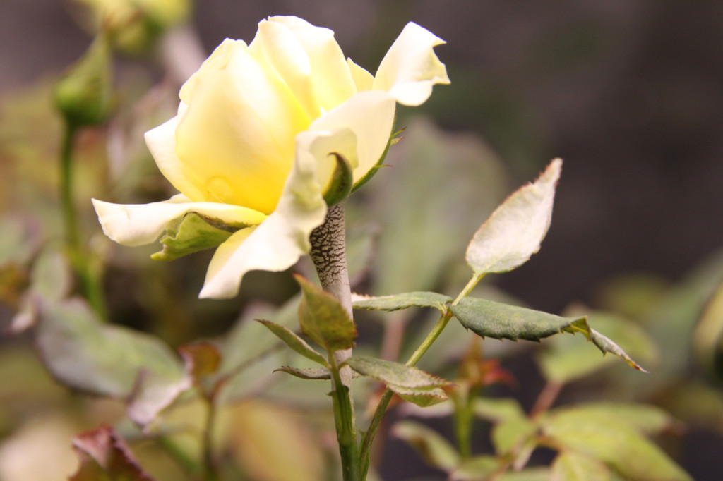 powdery mildew-trewated hydroponic rose after