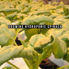 Growing Hydroponic Spinach
