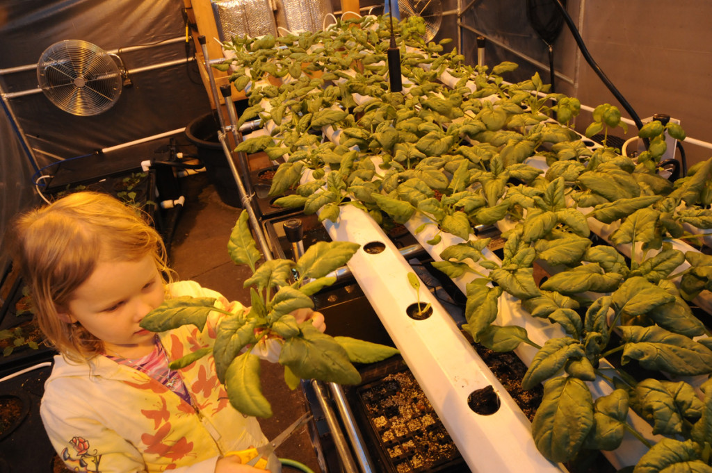 harvesting hydroponics spinach