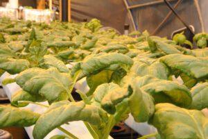 mature hydroponic spinach