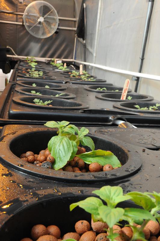 rdwc basil plants greenhouse
