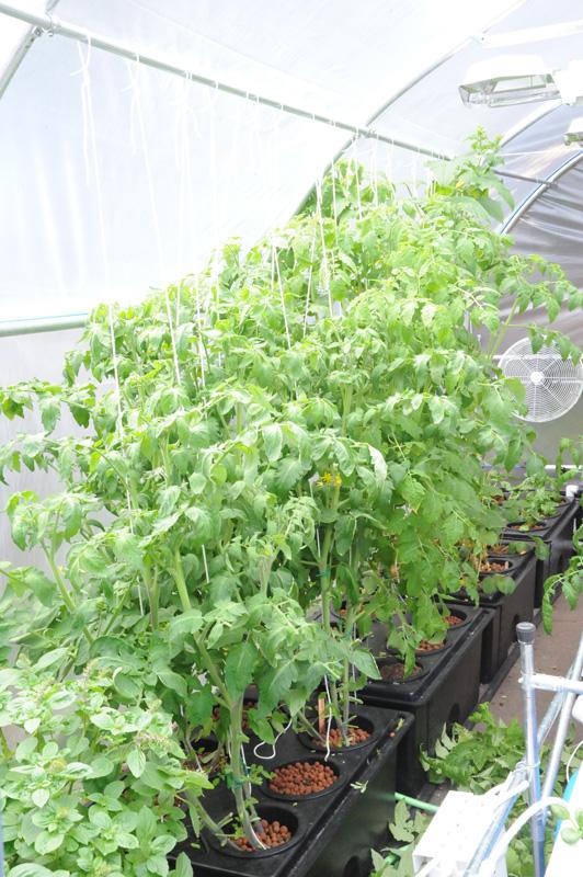 rdwc system plants